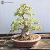 Korean Hornbeam | £1750 | Herons Bonsai
