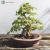 korean hornbeam £1,750