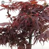Acer Palmatum 'Atropurpureum' Maple Bonsai Tr