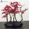 Acer Palmatum Red Deshojo Maple Group | Heron