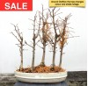 Chinese Larch Group Bonsai Forest - 5 Trees |