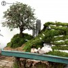 Chinese Elm Landscape with Rock & Mountain
