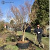 Large Maple for Landscape Garden | COLLECTION