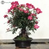 Japanese Rose Bonsai with Exposed Root Neagar