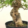 Mulberry Bonsai - Large