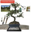 CHRISTMAS SPECIAL-CHINESE ELM BUNDLE