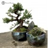 Chinese Juniper Landscape in Handmade Pot