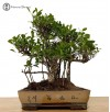 Ficus Bonsai Tree.