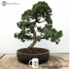 Chinese Juniper Bonsai Tree | COLLECTION ONLY