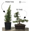 Picea Bonsai Making Kit