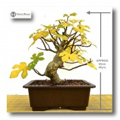 edible fig bonsai tree