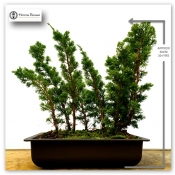 chinese juniper - raft/forest