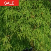 ao shidare seeds sale