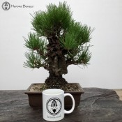 Pinus thunbergii | Japanese Black Pine | £595 | herons bonsai