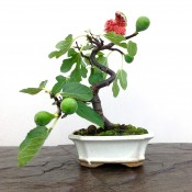 Ficus carica 'Common Fig' bonsai