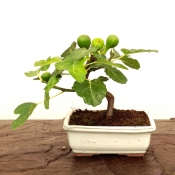 small edible fig bonsai