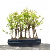 dawn redwood forest - 9 trees | herons bonsai