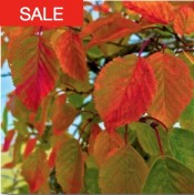 korean hornbeam seeds sale