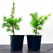 cedar of lebanon bonsai - starter tree