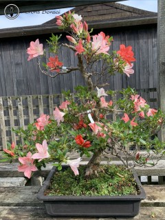 Satsuki Azalea (two types of red) | COLLECTION ONLY