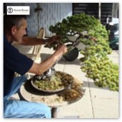 Pine Bonsai Workshop