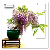 wisteria bonsai tree - large