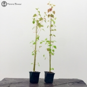 Cercidiphyllum japonicum Bonsai Starter Trees | set of two