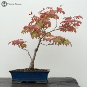 maiku jaku maple bonsai tree