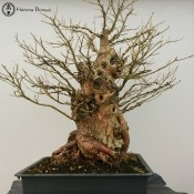 mulberry bonsai tree large