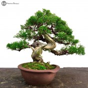 chinese juniper itiogawa specimen bonsai tree paul finch
