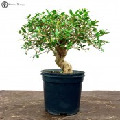 olive bonsai | small pre-trained | herons bonsai