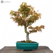 mountain maple bonsai tree | herons bonsai