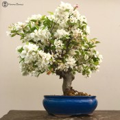 large miniature apple bonsai tree | herons bonsai