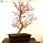 benichidori maple | specimen bonsai tree | acer palmautm | herons bonsai