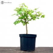 trident maple | semi trained