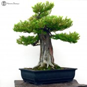 japanese yew | large specimen bonsai tree | herons bonsai