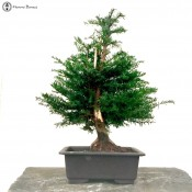 japanese yew bonsai tree