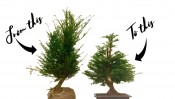 english yew bonsai workshop