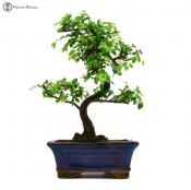 small chinese elm bonsai tree | herons bonsai