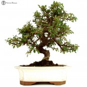 cotoneaster bonsai tree - herons bonsai