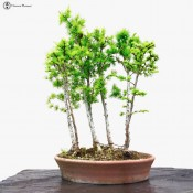 larch group bonsai forest