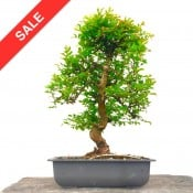 chinese elm - large