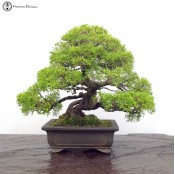 large chinese juniper itiogawa bonsai tree