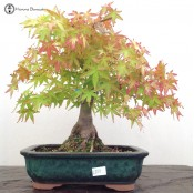 Other Japanese Maple Bonsai Trees In Ceramic Pots From Herons