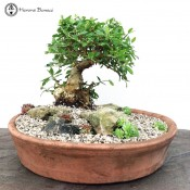 Wild Olive Bonsai Landscape with Accent Plants | COLLECTION ONLY