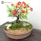pyracantha bonsai tree landscape