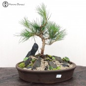 Pine Bonsai Tree Landscape