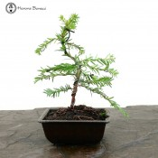 Taxus baccata Wired English Yew Bonsai | Herons Bonsai