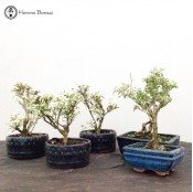 Two for £15 Serissa Bonsai | Variegated