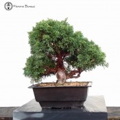 Chinese Juniper | £395 | plastic pot | Herons Bonsai
